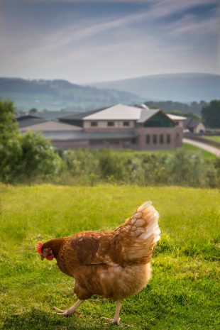 A free range chicken in a field.